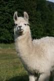 les-lamas-1-43998
