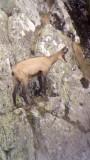 Observation des chamois La Bresse Hautes-Vosges BMHV